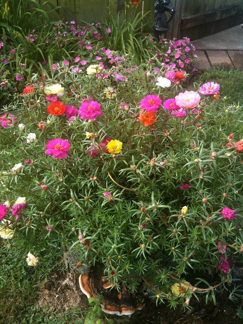 I am the lazy gardener.  Just sprinkled some of these seeds in my beds.  Now just have to wait!  Hope they do as well as last year: had to do nothing and they were awesome! // Moss Rose (Portulaca grandiflora)