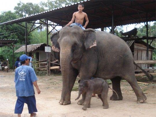 Elephant trekking (iamkohchang)