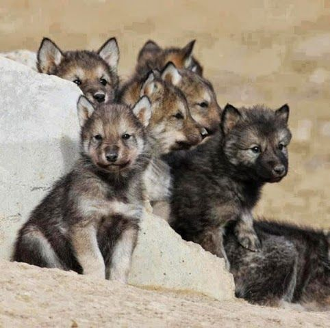 Baby Wolves! Too cute!