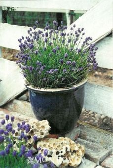 """Thumbelina Leigh lavender, 6"""" tall x 12"""" wide, 12"""" high in bloom, blue flowers, gray-green foliage."""