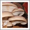 Use Espresso grinds as an Oyster Indoor Grow Kit (Pleurotus ostreatus)