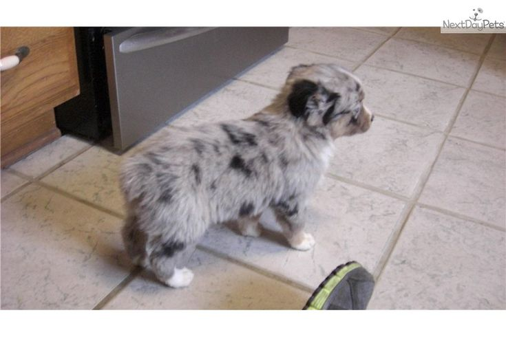 Meet Female a cute Miniature Australian Shepherd puppy for sale for $550. Sold!!!!Precious Blue Merle Female