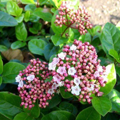 17 meilleures id es propos de haie laurier sur pinterest arbuste persistant pour haie - Ou planter un laurier rose ...