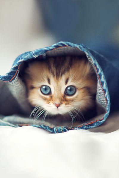 Peekaboo Cat in Jeans / Mignon petit chaton qui se cache dans une patte de jeans #Cat #Chat #Chaton #Cute #Jeans #BlueJeans #ReitmansJeans