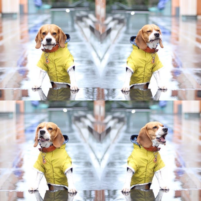With my new yellow raincoat @yummypets #beagle