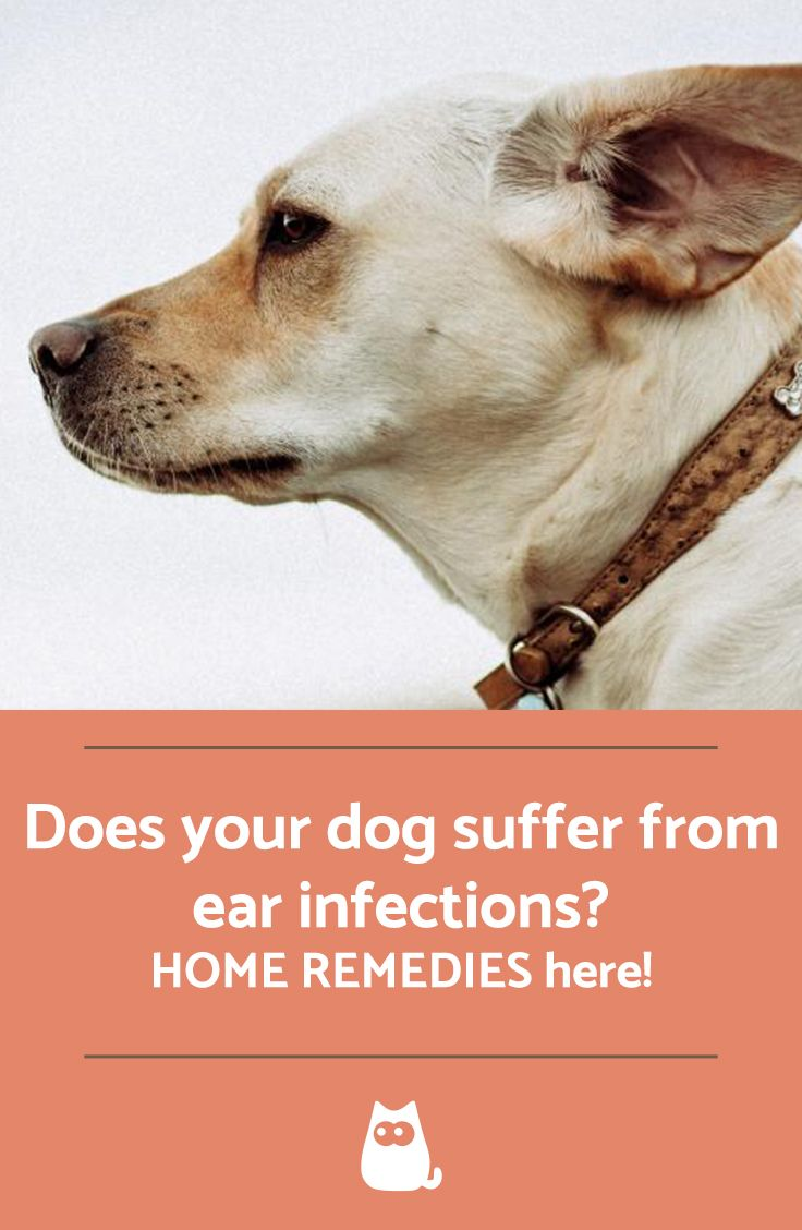 Home Remedies For Dog Ear Infection Dogs Ears Infection Ear Infection Ear Infection Home Remedies