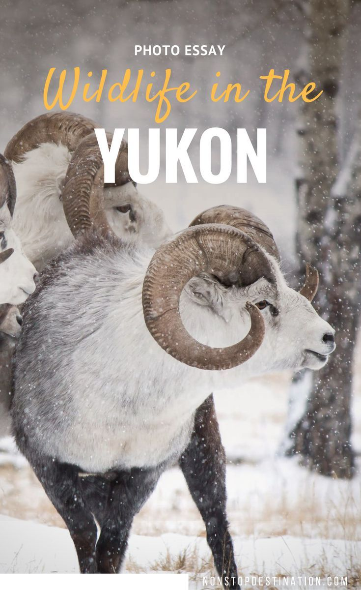 best images about travel ontario meet the animals from the yukon wildlife preserve