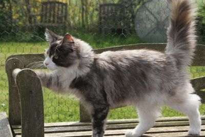 Maine Coon, Black Torti Smoke & White (fs 09). Diniel Angel