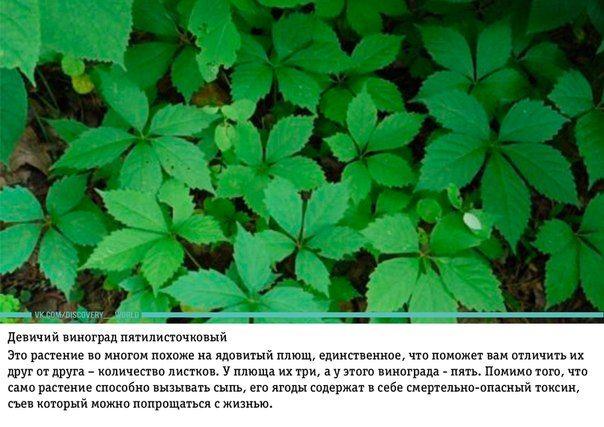 Ядовитые растения, которые выглядят съедобными
