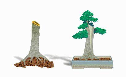 SA Bonsai, Bonsai, collecting trees for bonsai from the wild, Yamadori Bonsai