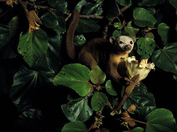 I potosini, come questo che riposa vicino a un fiore di balsa nel Parco nazionale Seoberiana di Panama, sono indigeni solo delle foreste tropicali dell'America centrale e meridionale. Questi fotogenici abitanti degli alberi somigliano agli orsi e hanno l'agilità delle scimmie, ma appartengono alla famiglia dei procioni