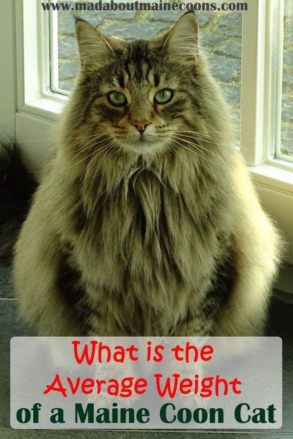 Pin On Maine Coon Guide
