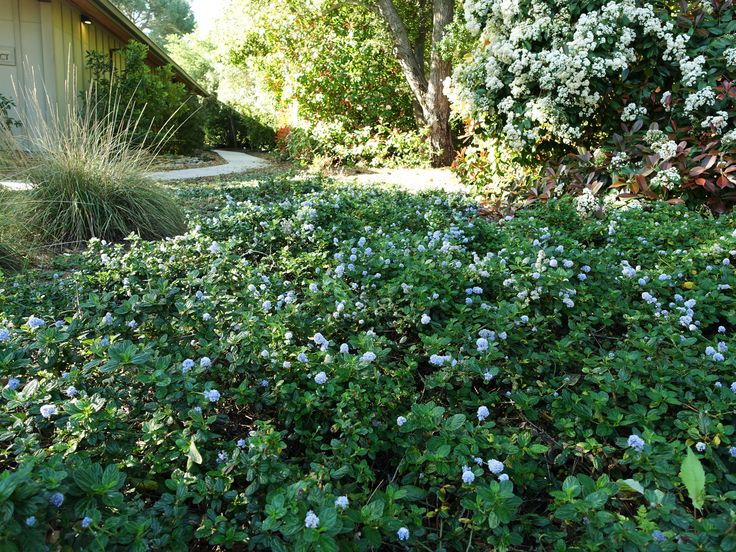 72 Best Images About Drought Tolerant Groundcovers On