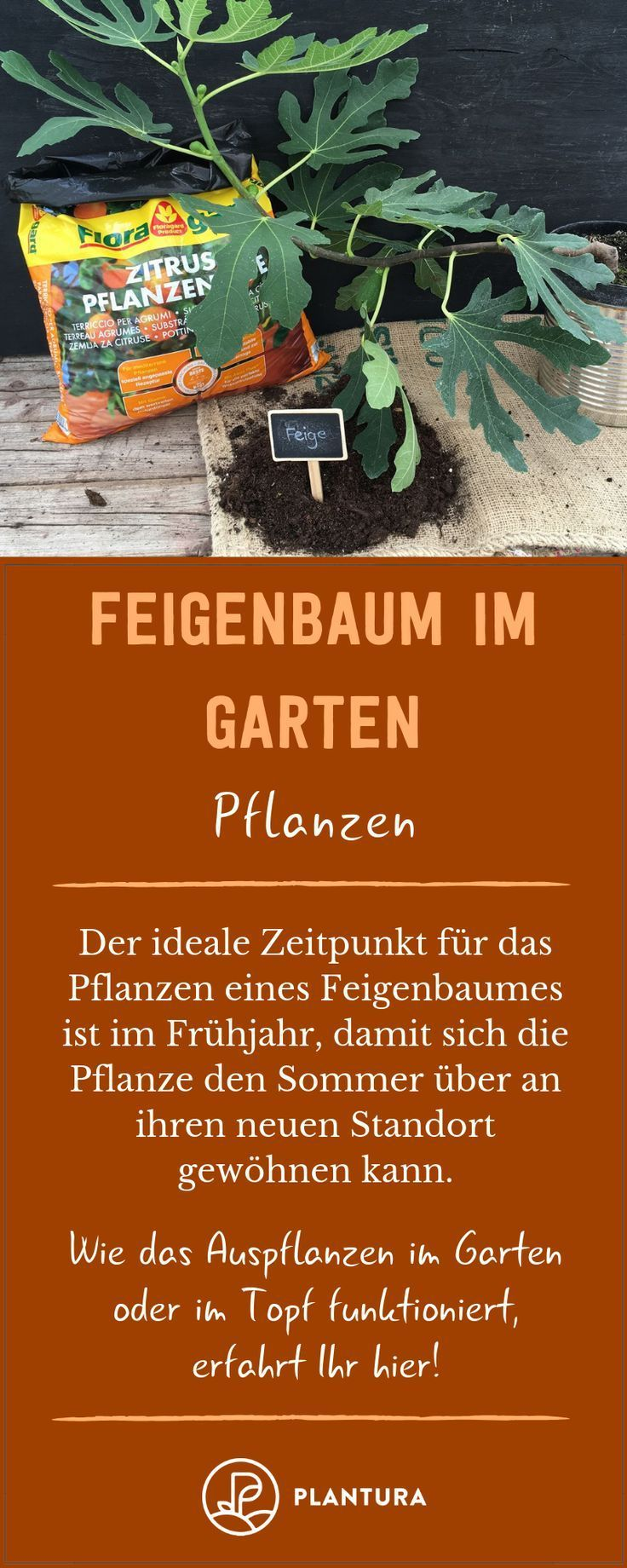 Display I Fig Tree In The Garden Plants How To Plant A Fig Tree Yourself Do Garden Fig Tree Garden Plants Fig Tree Plant