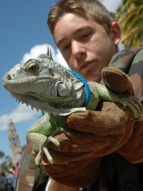 Pet Iguana Popculturez Com Pet Lizards Amazing Animal Pictures Cute Animals