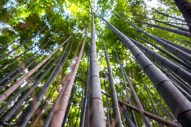 Arashiyama Bamboo Forest - Arashiyama Bamboo Grove – along with the torii tunnels of Kinkaku-ji Temple