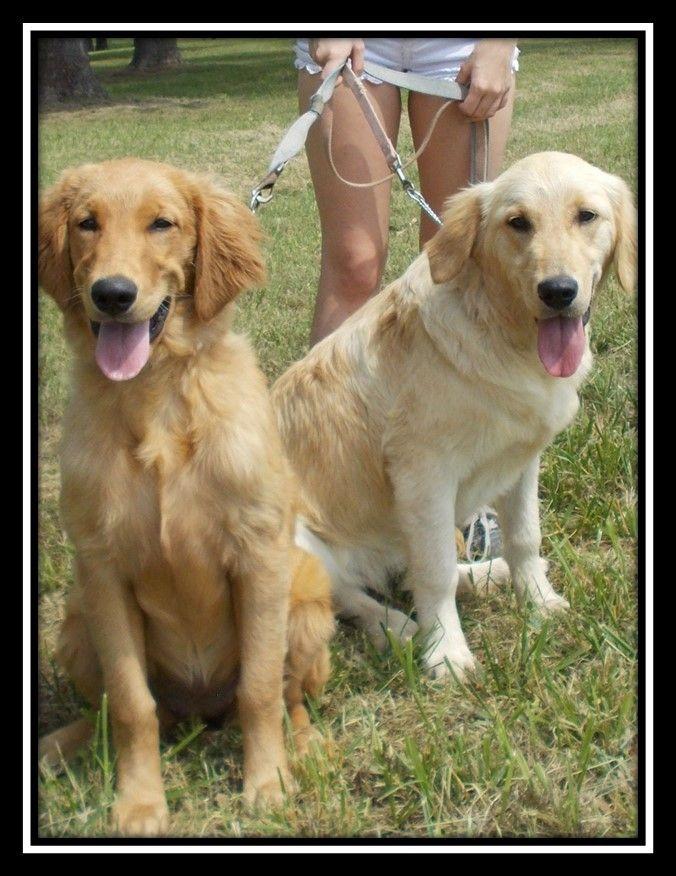AKC REGISTERED GOLDEN RETRIEVER PUPPIES this October 2014