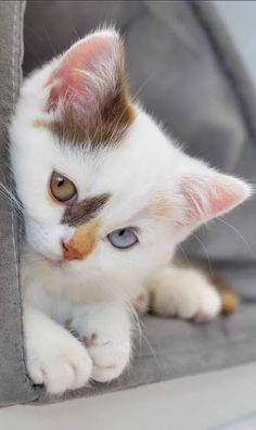 Colourfully Adorable. Cute white kitten with gold and blue eyes. #cute #kittens