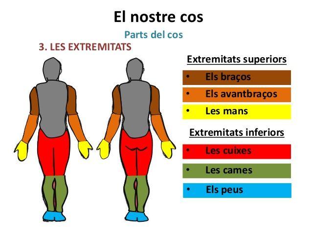 El nostre cos Parts del cos 3. LES EXTREMITATS Extremitats superiors • Els braços • Els avantbraços • Les mans Extremitats...
