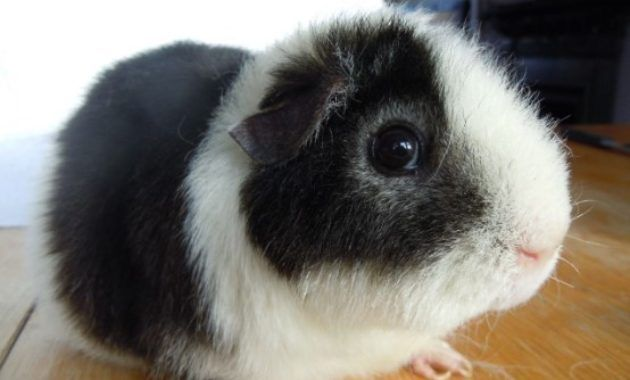 Pin On Guinea Pigsss