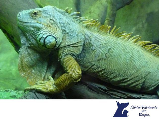 LA MEJOR VETERINARIA DE MÉXICO. En Veterinaria del Bosque, sabemos que los reptiles son  populares para mascotas, pero ¿Sabes cuál es el más popular de todos? Se trata de la iguana verde; puede medir de 1 a 1.8 m y pesar de 10 a 15 kg, son muy territoriales y solitarias, sin embargo, por su limpieza y facilidad de adaptación son una buena opción para tenerlas en casa. En nuestra clínica contamos con atención especializada para reptiles. Te invitamos a visitarnos. www.veterinariadelbosque.com