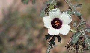 Hibiscus trionum coltivarla, curarla, trucchi e foto. Hibiscus trionum conosciuto anche come Ibisco dei fossi è un Pianta annuale, erbacea....
