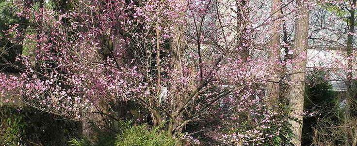 Prunus mume by plantfreak78