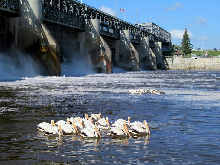 In summer American white pelicans congregate below the St Andrews Lock and Dam (1910) on the Red River at Lockport, Manitoba, Canada