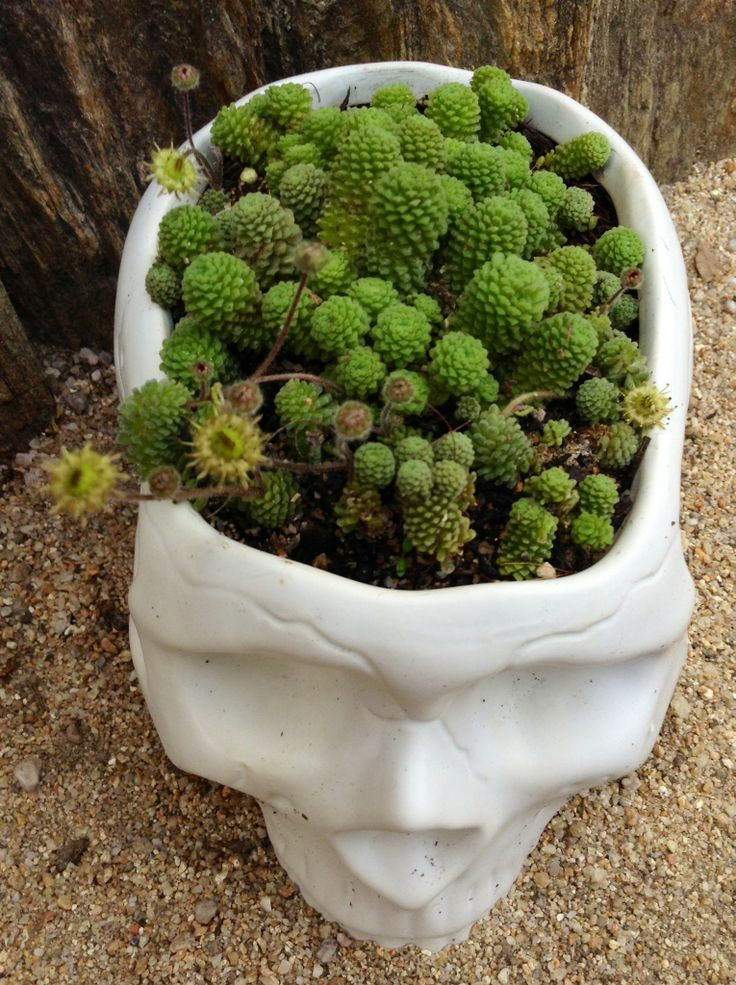 Monanthes polyphylla plants pinterest kaktus - Kaktus zimmerpflanze ...