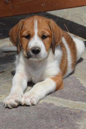 Mini Labrador / Miniature Labrador Retriever / Designer Dogs