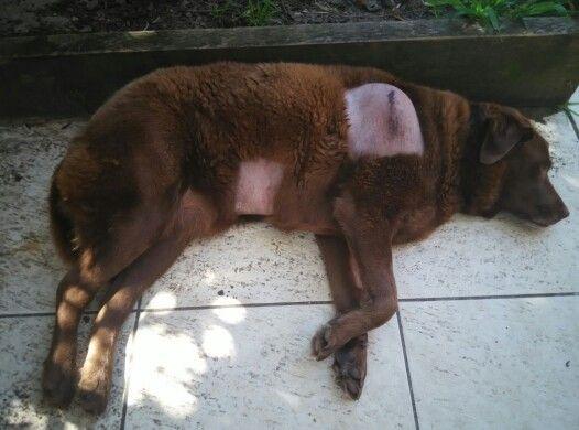 Its too hot for a sick dog #bubblestheblunderdog #labradors #labrador