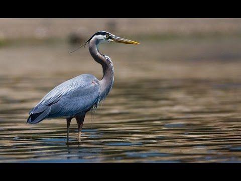 Большая Голубая Цапля Great Blue Heron.