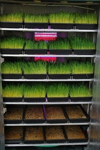 sprouting feed for chickens and rabbits - good idea, but where would