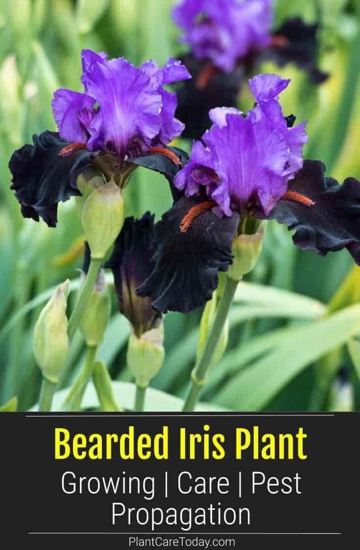 Bearded Iris Plant Growing Care Pest Propagation Bearded Iris Plants Iris