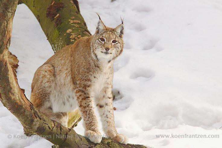 Eurasian Lynx (Lynx lynx)   koenfrantzen.com