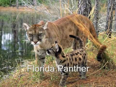 U S Mountain Lion Population Endangered Animals - P...