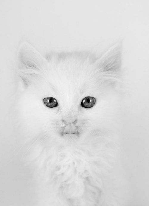 kitty: Baby Blue, Kitty Cat, Meow, White Cats, White Kitty, Blue Eyes, Animal, White Kittens, Baby Cat