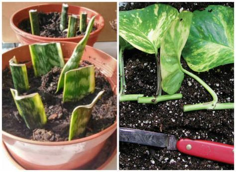 How To Propagate House Plants And Have Unlimited Plants Forever - A large part of gardening is knowing how to make the most out of it. Propagating your common house plants is a key resource in getting the most out of the money you paid for the original house plants.