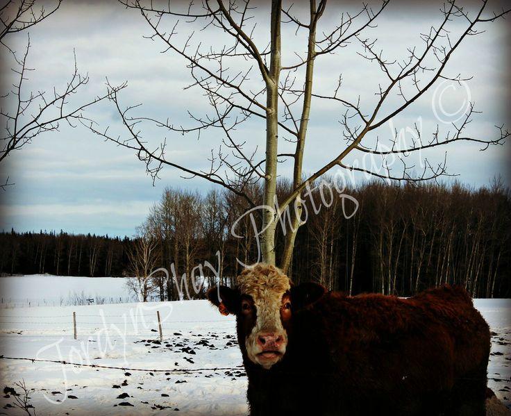 Cow, Farm, Country, Life, Winter, Vanderhoof, BC, Canada by JordynShay Photography