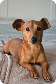 Hagerstown, MD Dachshund/Chihuahua Mix. Meet Boots, a