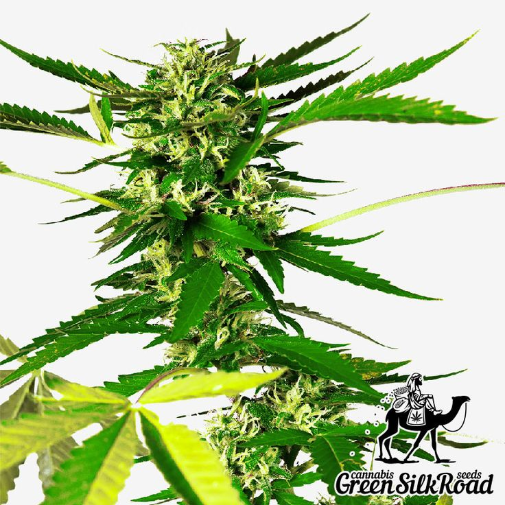 Somango Feminised is an undemanding variety that exudes a pleasant aroma of mango during maturation. Its compact bushes have an extensive twig system which, in combination with the powerful genetic potential, allows receiving up to 500 g / m² of high-quality stuff. The strain actively produces resin with the THC content of about 20%, and provides a variety of mental and powerful euphoric effects