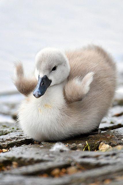 Happy Little Baby Swan | All Things Birds | Pinterest