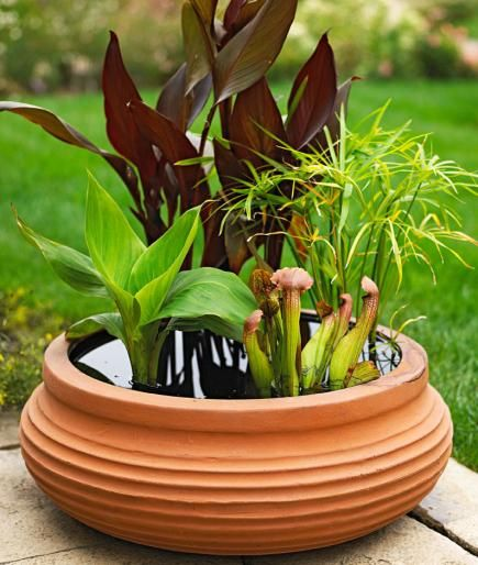 This glazed terra-cotta pot sprouts a garden of two color of hardy water canna, dwarf papyrus and tropical pitcher plant.