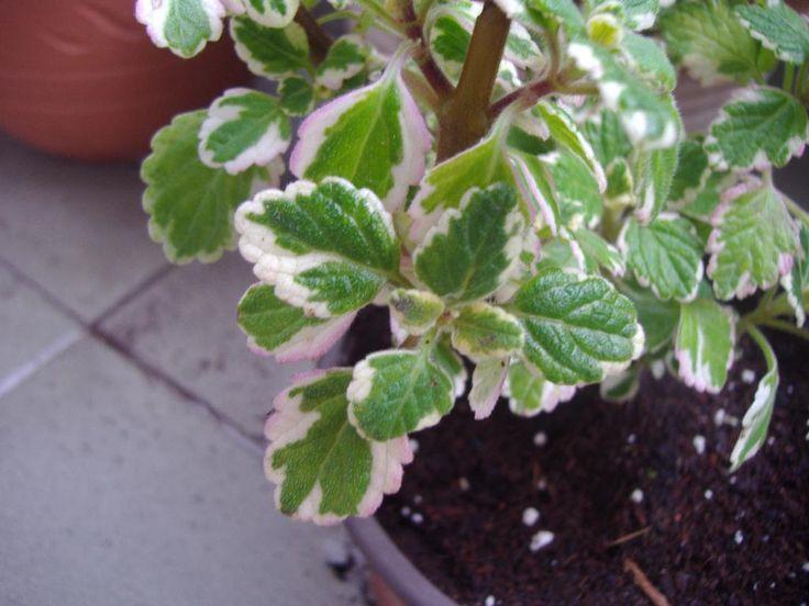 Φυτά στο μπαλκόνι που διώχνουν τα κουνούπια. Καλλιεργούνται εύκολα, δίνουν χρώμα στο χώρο και γεύση στα φαγητά - Value for Life