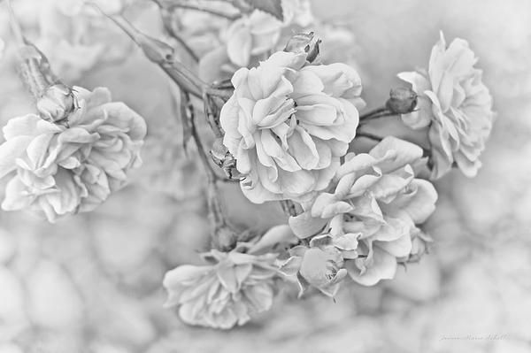 Beautiful little gray Roses floral photography designs by Jennie Marie Schell.  All images are available for sale at: http://jennie-marie-schell.artistwebsites.com  #gray #grey #rose