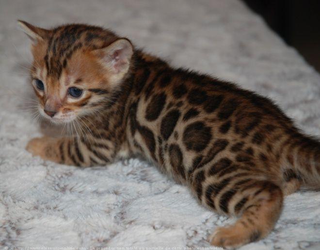 Assez 46 best Les chats de bengals images on Pinterest | Cats, Bengal  DE95