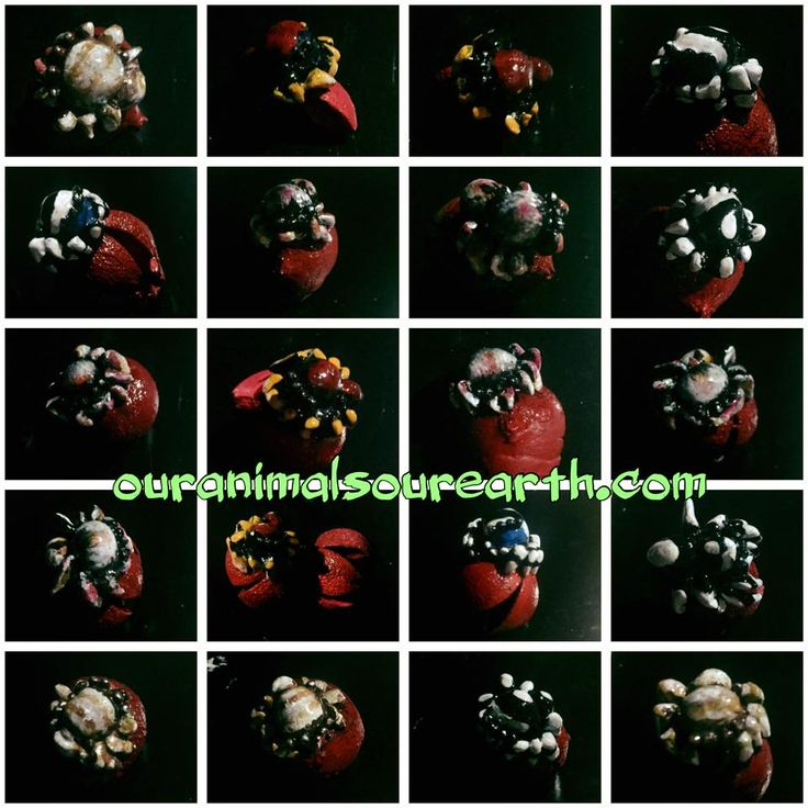 jumping spider magnets raising money for the Australian wildlife conservancy http://www.ouranimalsourearth.com