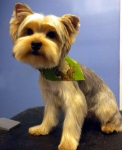 Yorkie Poodle mix dogs have very unique body types so each will require a different hairstyle because of this. Learn which hairstyle best fits your dog.