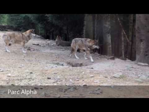 Places to see in ( Saint Martin Vesubie - France ) Parc Alpha  Parc Alpha is ( Saint Martin Vesubie - France ) big enough to spend a day on a relaxed schedule so you can watch the wolves before and during their feeding times.  Wolves are being reintroduced to the wild across Southern France and while there is a hot local debate about whether this is a good idea Parc Alpha has picked up the baton to show the public more about the life of the wolf. Parc Alpha ( Saint Martin Vesubie - France )…