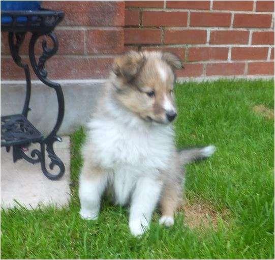 Shetland sheepdog criadero venta cachorros sheltie entrega inmediata Shetland sheepdog en venta ENTREGA INMEDIATA cachorros mac .. http://bogota-city.evisos.com.co/shetland-sheepdog-criadero-venta-cachorros-sheltie-entrega-id-331531